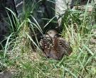 Утка гага на гнезде